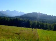 Sunbathing cows