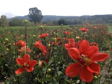 One of several fields of flowers.