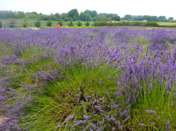 A whole lotta lavender