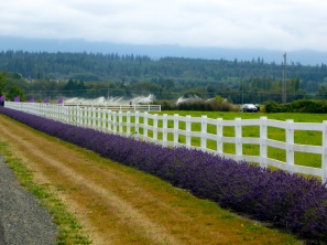 Lavender and lines